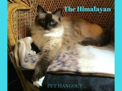 The Himalayan ancestor is a Siamese.