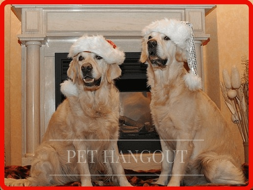 2 labs wearing their christmas spirit hats
