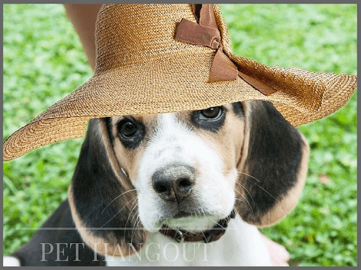 Miss beagle wearing her garden hat