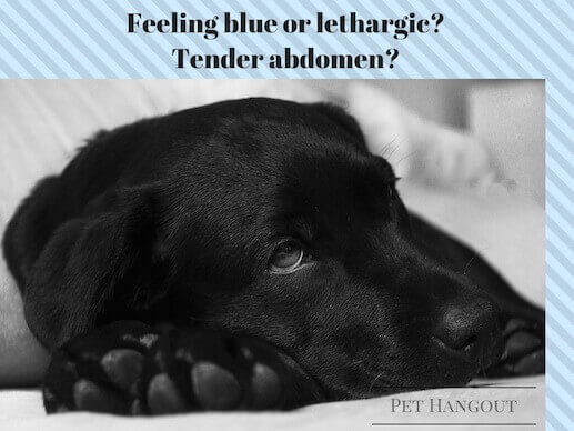 Lethargic dogs with tender abdomen may have an infection