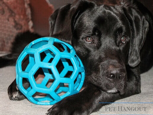 Black lab snuggling with his blue air ball