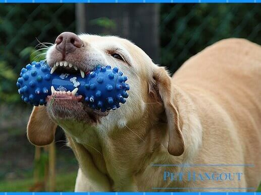 Dog playing with blue rubber bone