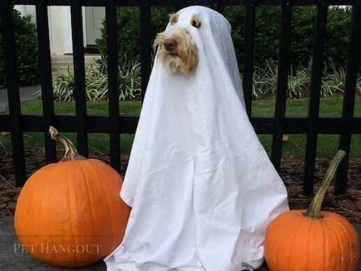 Dress your dog up like a ghost.