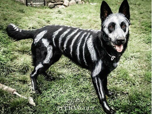 Paint your dog like a skeleton for the perfect halloween costume.