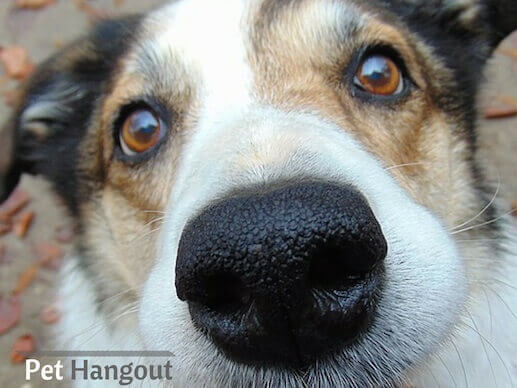 A dog's nose is a unique print that no other dog has.