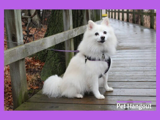 American Eskimo small dog breed