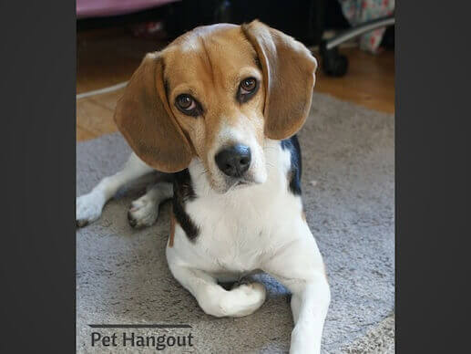 The Beagle is a great small dog breed