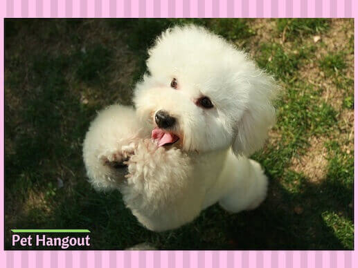 A Bishon Frise small dog breed