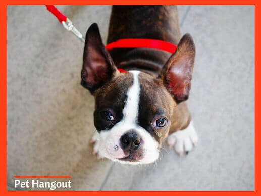 Boston Terrier is a small dog breed