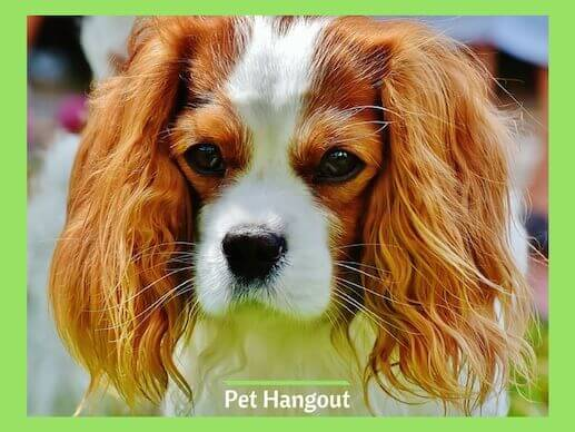 A Cavalier King Charles Spaniel is a small dog breed