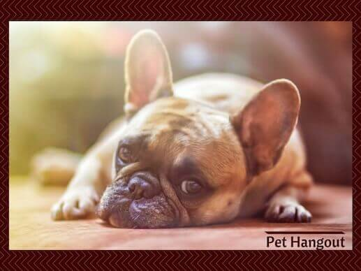 The French Bulldog is a small dog breed that is so cute