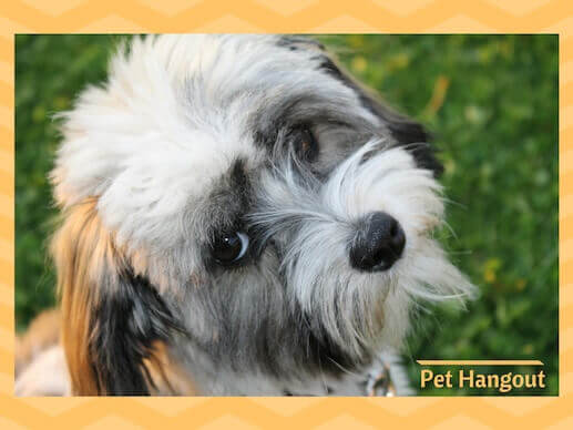 Havanese is a small dog breed