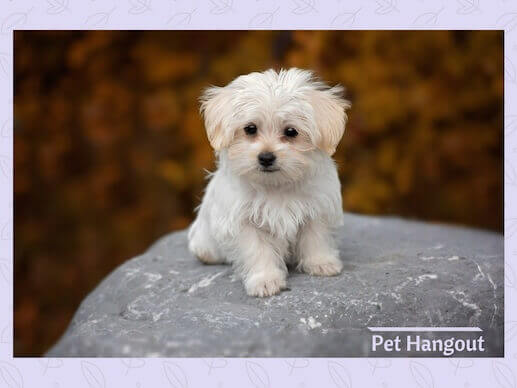 The Maltese is a small dog breed