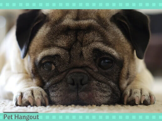 The pug small dog breed is too cute