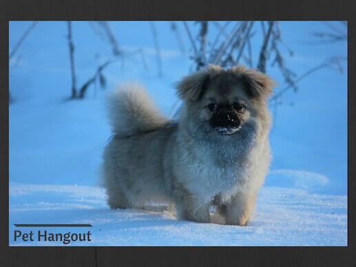 The Tibetan Spaniel is a small dog breed