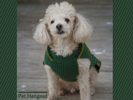 The Toy Poodle is a small dog breed