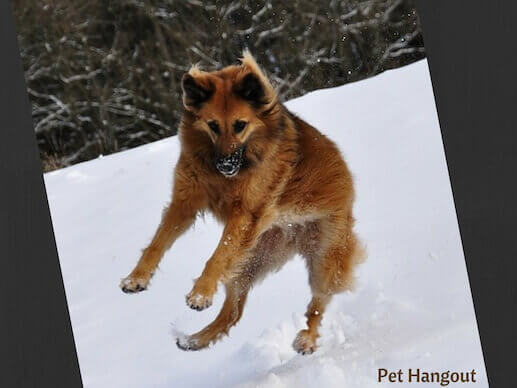 Dog jumping in the snow.