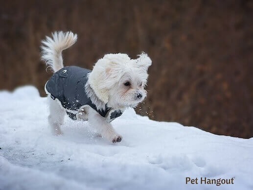 Maltese walking in the snow.