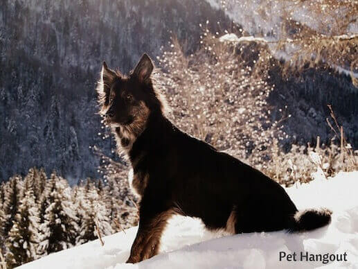 Pretty doggy with snowy mountains.