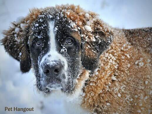 Saint Bernard covered in snow.