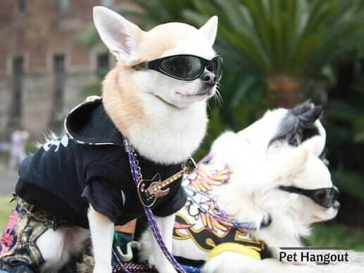 Cool Chihuahua with coats and glasses.