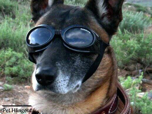 Cool Shepherd with goggles.