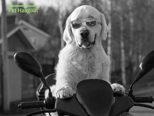 Dog on motorcyle with glasses.