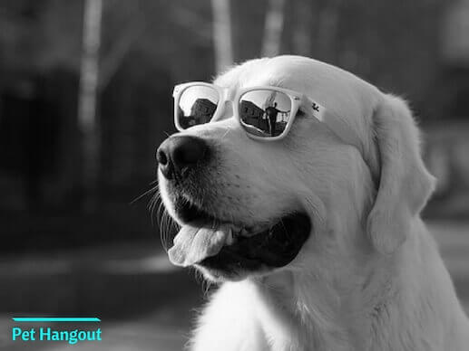 White Lab with sunglasses