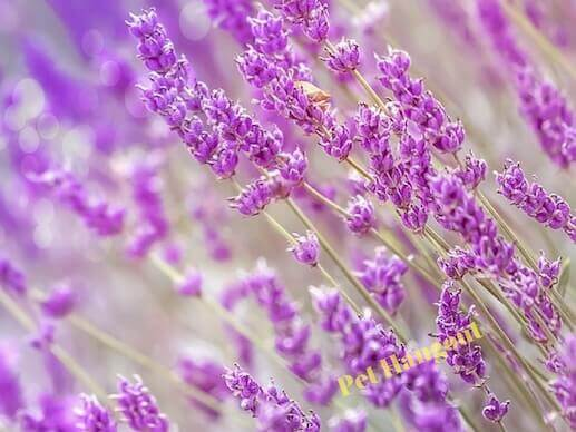 Lavender is a popular essential oil.