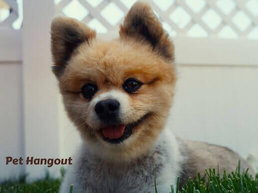 Eskimo spitz puppy.