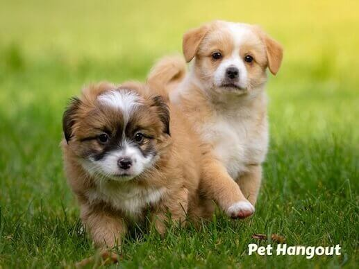 Puppies frolicking in the grass.