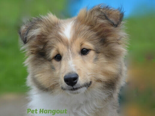 Sweet Collie puppy.