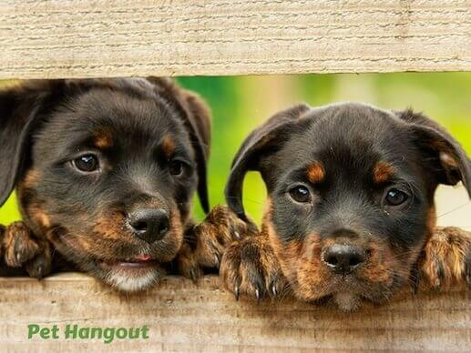 Two nosy pups peeking through the fence.