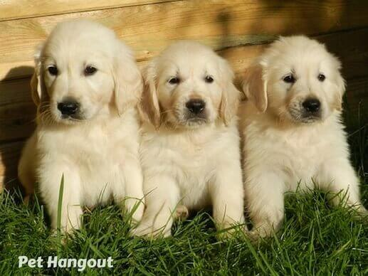 White lab puppies.
