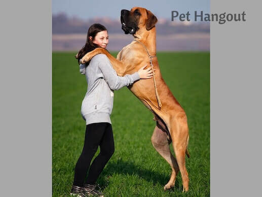 Great Danes can have hip dysplasia.