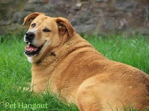Overweight dogs could contribute to hip dysplasia