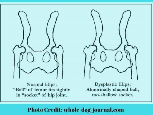 Proper and improper hip joint on a dog.