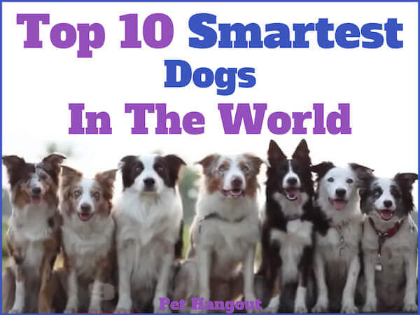 Top 10 Smartest Dogs in the World