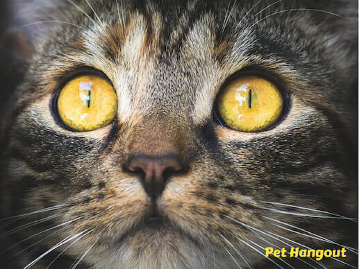 Cats eyes are huge relative to their head.