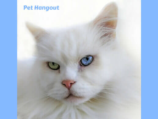 White cats can have a green eyes and a blue eye.