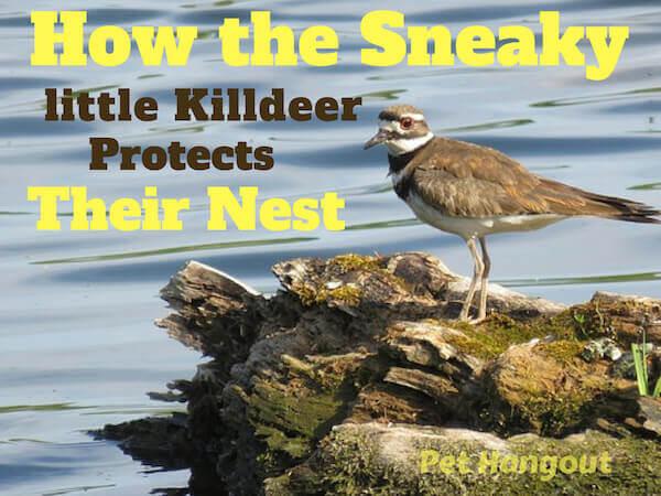How the little killdeer protects their nest