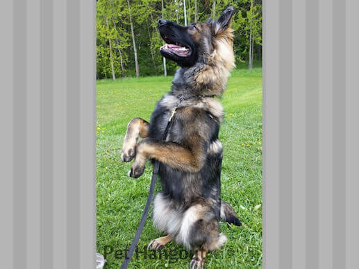 Shepherd doing a standing trick.