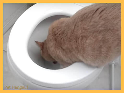 kitty drinking from toilet.