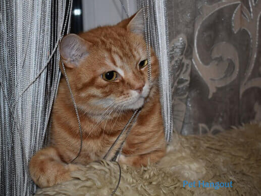 kitty sitting in the curtains.