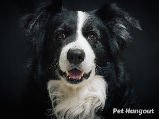 Black and white Border Collie  breed.