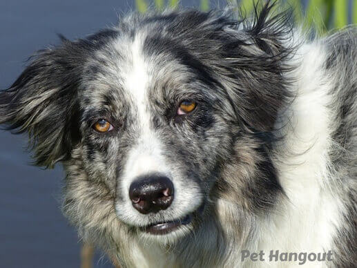 Border Collie breed pic