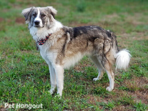 Border Collie sable color