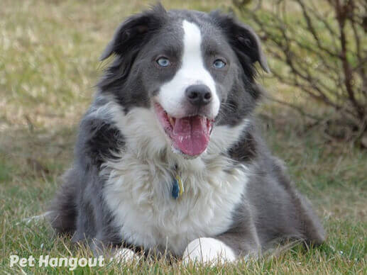 Grey and white Border Collie.