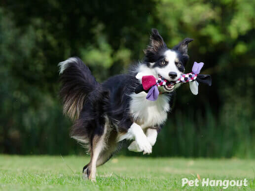 Border Collie retrieving a rope toy