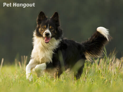 Border Collie running.